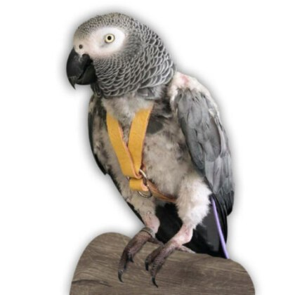Harness Yellow Parrot